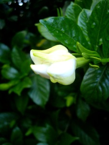 gardenia photo, gardenia blossom, gardenia bloom, cootchie