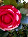 peppermint camellia, camellia charleston sc, spring flowers charleston sc, spring charleston sc