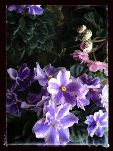 african violets, how to grow african violets, tips for growing african violets, african violet photography, african violet picture